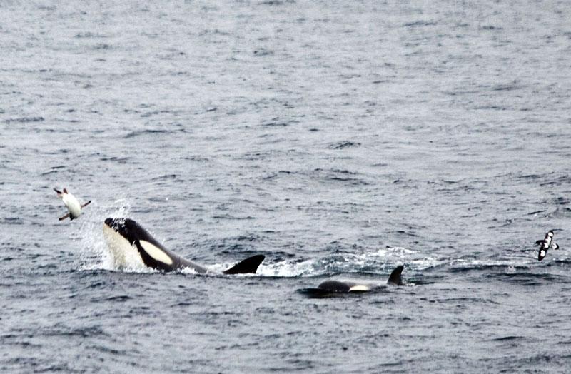 Killer Eating Penguins Whales King