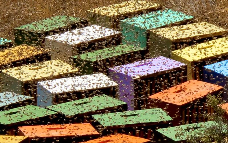 Honeybee Colony, Santiago, Chile, No Filter. Photo By Zandy Mangold. © 2013