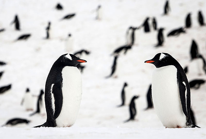 Genteel Penguin Pair, Antarctica. Photo By Zandy Mangold. ©2014