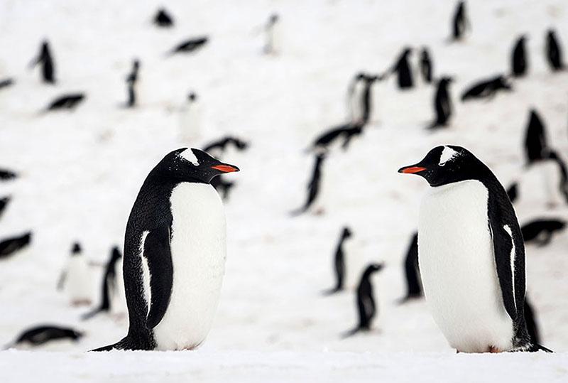 Genteel Penguin Pair, Antarctica. Photo By Zandy Mangold. ©2014